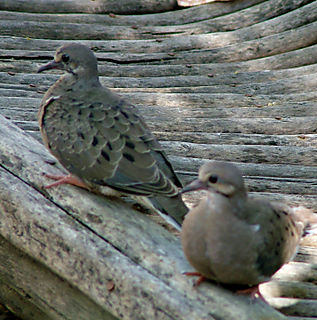 Baby doves