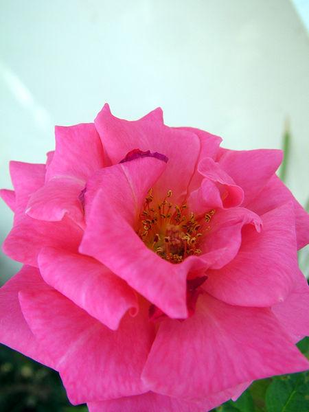 Rose11-01