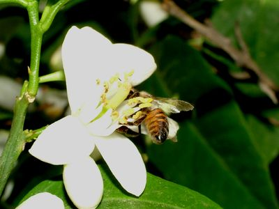 Bee in Orange Blossom