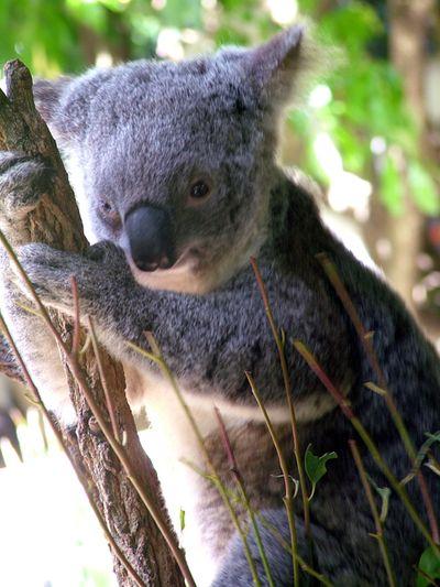 Koala Park4