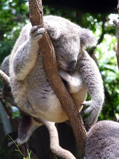 Koala Park3