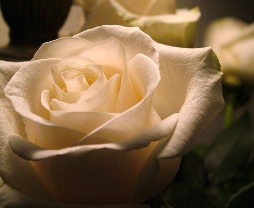 White rose2