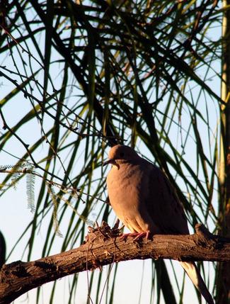Sleeping_dove