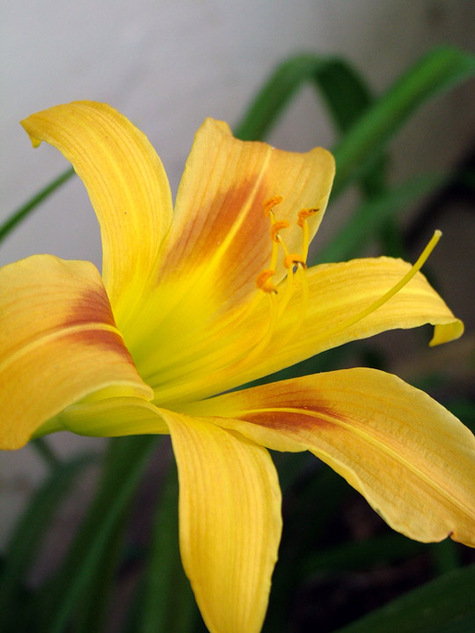 Mothers_day_lily_3