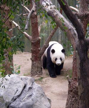 Pandabear_5