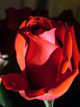 Anniversary_rose