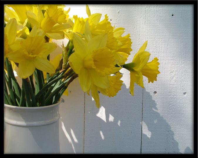 Spring_daffies