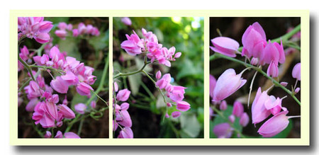 Coral_vine_collage