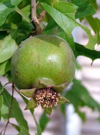 Pomegranate_fruit